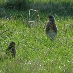 Fieldfare and Redwing Burnside Dunearn 26 Oct 2015 Alison Ritchie