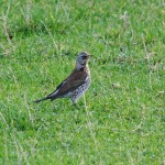 Fieldfare near Archiestown 21 Oct 2013 Tony Backx