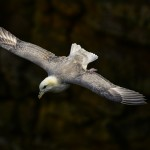 Fulmar Covesea 26 May 2014 David Main