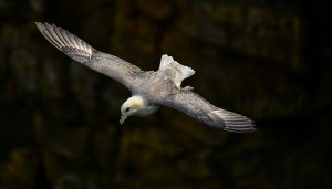 Fulmar, Covesea 26 May 2014 (David Main)