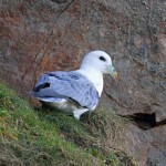 Fulmar Cummingston 6 Feb 2014 Gordon Biggs