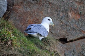 Fulmar, Cummingston 6 Feb 2014 (Gordon Biggs)
