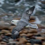 Fulmar Cummingston 6 Mar 2017 Tony Backx 1 P