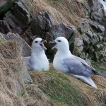 Fulmars Portknockie 6 May 2014 Richard Somers Cocks