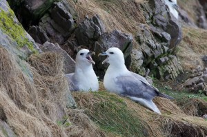 Fulmars, Portknockie 6 May 2014 (Richard Somers Cocks)