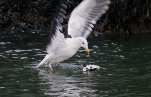 Great Black-backed Gull killing Black Guillemot, Burghead harbour 28 Jan 2014 (Tony Backx)