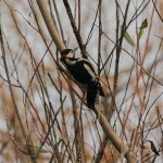 GS Woodpecker Loch Spynie 24 Nov 2013 David Main