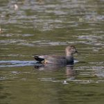 Gadwall Loch Oire 6 Oct 2017 Tony Backx P
