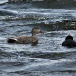 Gadwall Loch Spynie 25 Apr 2017 Martin Cook