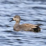 Gadwall Loch Spynie 26 Apr 2017 Gordon Biggs 2P
