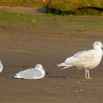 Glaucous Gull 2ndW Lossie estuary 1 Oct 2013 Gordon Biggs