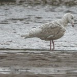 Glaucous Gull 2ndW Lossie estuary 3 Oct 2013 David Main