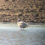 Glaucous Gull Balormie 21 Apr 2018 Bob Proctor