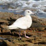 Glaucous Gull Burghead 25 May 2018 Gordon Biggs
