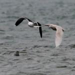 Glaucous Gull Burghead 31 Jan 2014 Dave Pullan