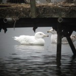 Glaucous Gull Loch Spynie 25 Apr 2014 Martin Cook 1