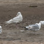 Glaucous Gull Lossie estuary 11 Jun 2016 David Main P