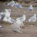 Glaucous Gull Lossie estuary 15 Nov 2014 Bob Proctor