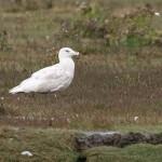 Glaucous Gull Lossie estuary 17 Sept 2015 David Main