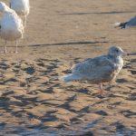 Glaucous Gull Lossie estuary 20 Apr 2018 David Main