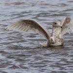 Glaucous Gull Lossie estuary 26 Apr 2018 David Main 1