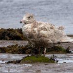 Glaucous Gull Lossie estuary 26 Apr 2018 David Main 2