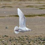 Glaucous Gull Lossie estuary 7 Apr 2018 Gordon Biggs
