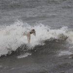Glaucous Gull Lossiemouth 18 Mar 2018 Henry Farquhar