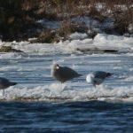 Glaucous Gull Spey estuary 1 Mar 2018 Martin Cook