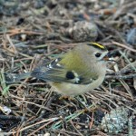 Goldcrest, Lossie Forest 15 Jan 2015 (Gordon Biggs)
