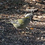 Goldcrest Lossie Forest 22 Feb 2013 Gordon Biggs 1