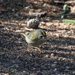 Goldcrest Lossie Forest 22 Feb 2013 Gordon Biggs 2