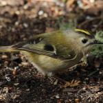 Goldcrest Lossie Forest 28 March 2013 Gordon Biggs