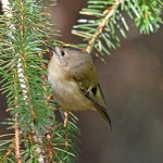 Goldcrest, Roseisle 3 Mar 2016 (Gordon Biggs) 2P
