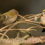 Goldcrests, Darnaway 15 Mar 2016 (Mike Crutch) P