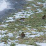 Golden Plover Burghead 4 Mar 2018 David Main 2