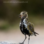 Golden Plover, Dava 16 Jun 2015 (David Devonport)