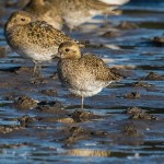 Golden Plover, Findhorn Bay 16 Oct 2015 (Mike Crutch)