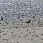 Golden Plover Findhorn Bay 21 July 2014 Gordon McMullins