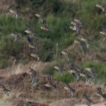 Golden Plover Findhorn dunes 6 Oct 2016 Mike Crutch 1