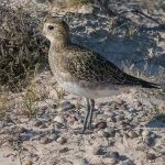 Golden Plover Findhorn dunes 6 Oct 2016 Mike Crutch 2