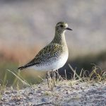 Golden Plover Findhorn dunes 7 Nov 2017 Richard Somers Cocks P