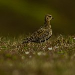 Golden Plover Ladder Hills 1 June 2014 David Main