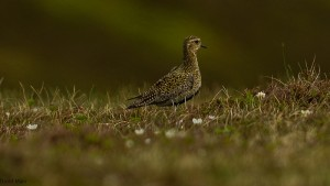Golden Plover, Ladder Hills 1 June 2014 (David Main)