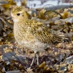 Golden Plover Portgordon 21 Oct 2017 Nick Mellor