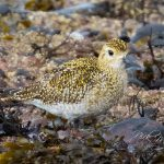 Golden Plover Portgordon 21 Oct 2017 Nick Mellor 2