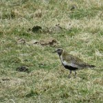 Golden Plover Refouble 3 Apr 2016 Alison Ritchie