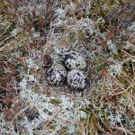 Golden Plover nest, Cairnbrallan 24 May 2015 (Fiona McHugh)