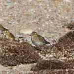 Golden Plovers Findhorn 10 Mar 2015 Richard Somers Cocks