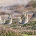 Golden Plovers Findhorn dunes 7 Nov 2017 Richard Somers Cocks P